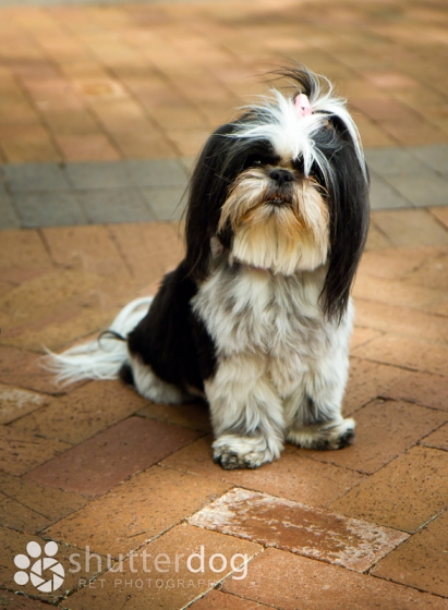 cute black and white shih tzu dog with pink bow sitting and looking at the camera