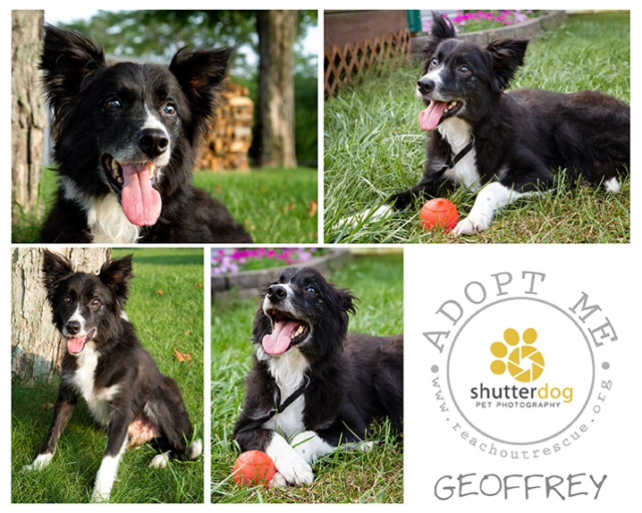 collage of photos of rescued senior border collie