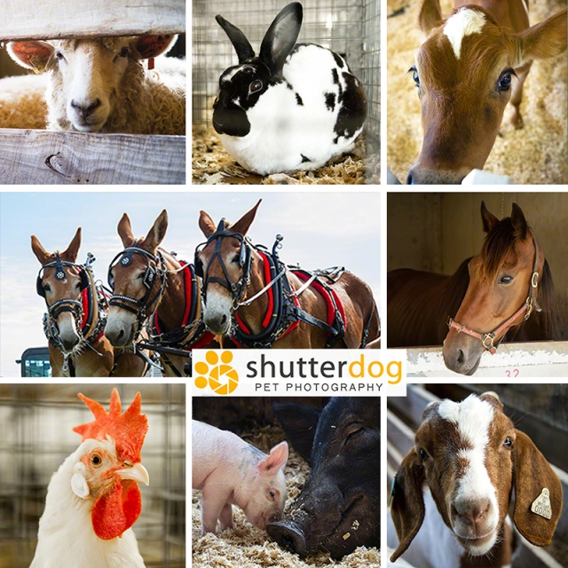a collage of farm animal photographs from the county fair
