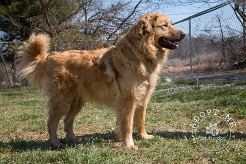 golden retriever/leonberger dog standing by fence