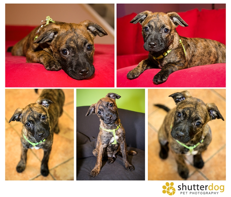 collage of photos of cute pit bull mix puppy