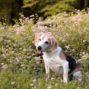 beagle dog sitting in front of flowers