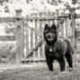 black chow dog in front of gate
