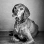 blind dog in black and white